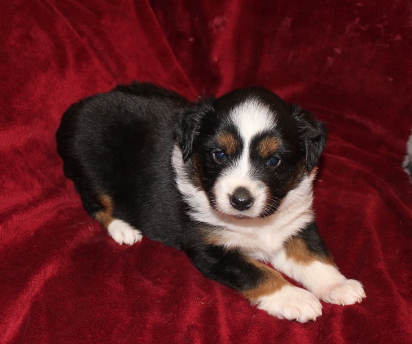Mini aussies for sale oregon dog breeds picture